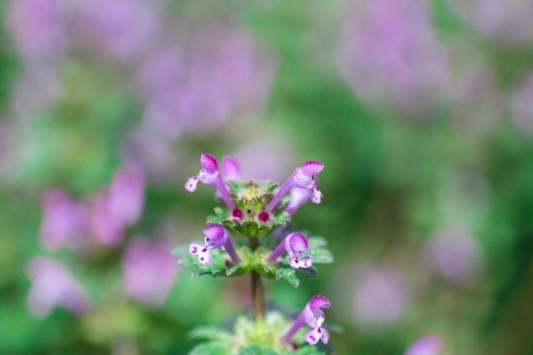 ホトケノザ OSAKA Japan Spring Flower Head Flower Pink Color Beauty Petal Purple Close-up Plant
