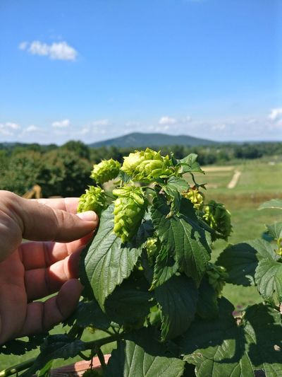Hops. Hops Beer Hops Flower Hops Farm Hops Beer Making Beer Making Brew Brewing Farm To Table Farm Human Hand Men Vegetable Healthy Lifestyle Sunlight Social Issues Sky Close-up Plant Farmland Harvesting Picking Farm Worker Orchard Organic Farm Farmer Community Garden