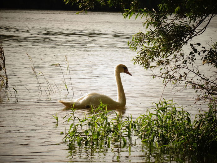 Swan Whiteswan River Bird Animals In The Wild Animal Themes Waterfront Day Beauty In Nature Non-urban Scene No People Animalphotography Sunset Yellowlight