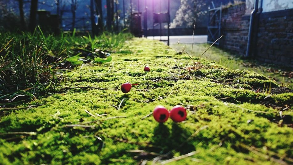Red Berries Green Moss Backlight Nature Outdoors Countryside Beauty In Nature Close-up Eyeemphotography Taking Photos Sommergefühle From My Point Of View Color Photography The Great Outdoors - 2017 EyeEm Awards Mobilephotography Shootermag GardenWall