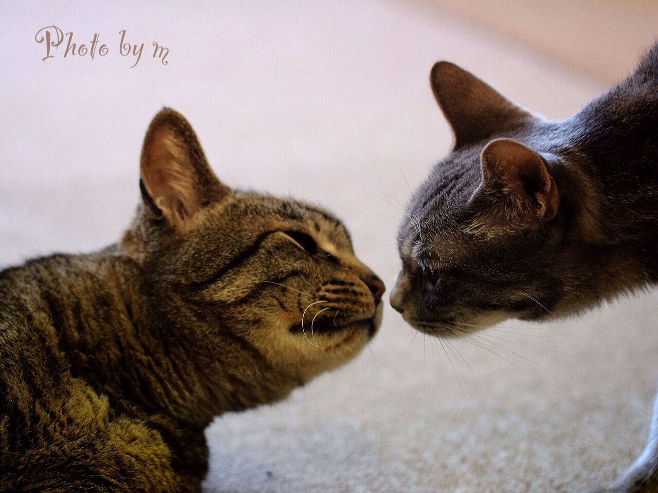 animal themes, mammal, one animal, domestic animals, pets, domestic cat, feline, cat, relaxation, whisker, lying down, close-up, resting, two animals, sleeping, indoors, animal head, focus on foreground, eyes closed, zoology