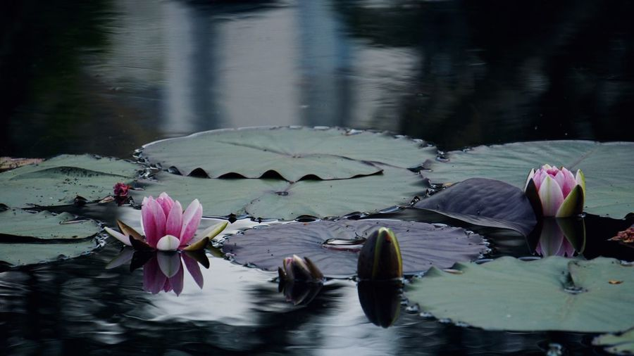 莲花 Flower Flowering Plant Water Plant Freshness Beauty In Nature Nature Water Lily Leaf No People Outdoors Lake Pink Color Lotus Water Lily