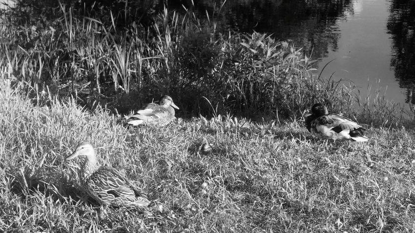Ducks Enjoying Life Taking Photos Sherbrooke