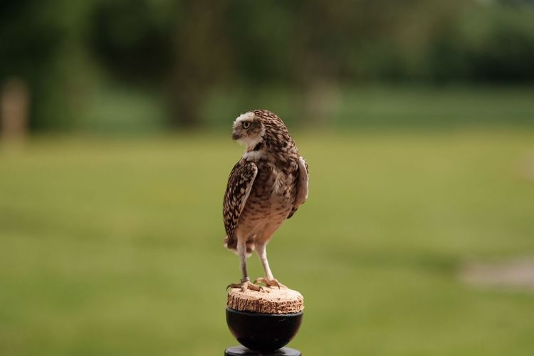 Bird One Animal Focus On Foreground Animal Themes Animals In The Wild Day Perching Animal Wildlife No People Outdoors Bird Of Prey Nature Close-up