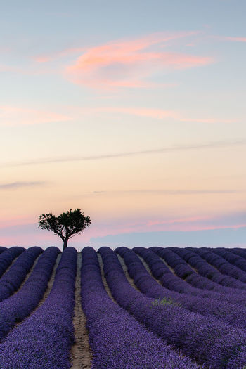 Pink cloud after sunset in Provence Provence Agriculture Beauty In Nature Cloud - Sky Environment Field Growth Idyllic Land Landscape Lavender Nature No People Outdoors Plant Purple Rural Scene Scenics - Nature Sky Sunset Tranquil Scene Tranquility
