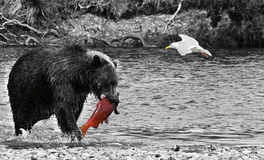 A voracious giant brown bear with a salmon in its mouth and a seagull flying in a river in the Katmai peninsula. Wildlife in the Alaskan territory during summer. Black and White Alaskan Bear Eating Hungry Meal Sockeye Alaska Bird Catching Fish Fishing Fur Greedy Hunting Katmai Mammal Nature Peninsula Ravenous Salmon Seagull Voracious Wild Wilderness Wildlife