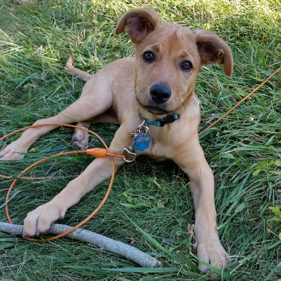 Branch manager EyeEm Selects Dog Pets Domestic Animals Grass One Animal Mammal Outdoors Front Or Back Yard Lawn Looking At Camera Green Color Portrait Pet Collar Animal Themes No People Pet Portraits Adopted Puppy Rescue Puppy Aruba Captain Puppychubbles Puppy