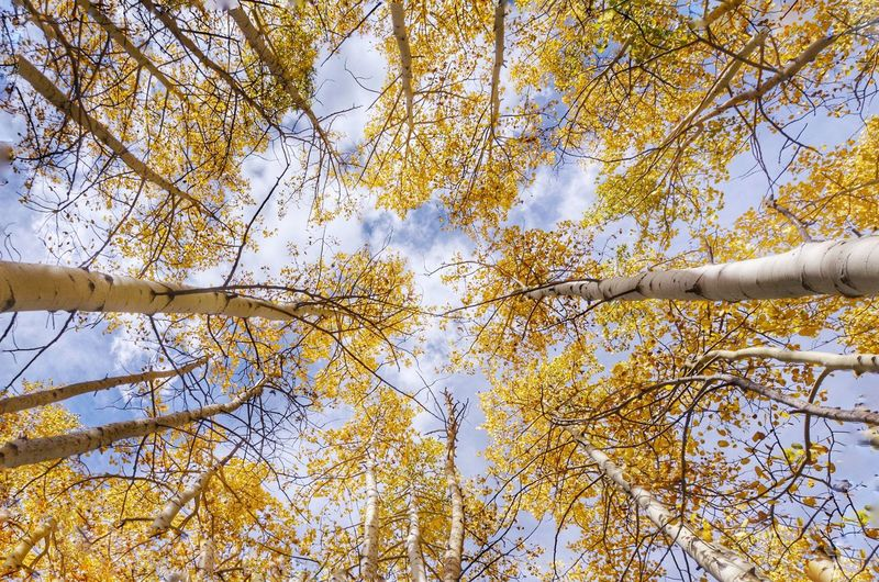 Aspen trees Autumn Fall Aspens Plant Tree Low Angle View Growth Beauty In Nature Branch Nature Leaf Yellow Outdoors Sunlight Sky