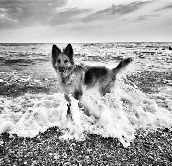 EyeEm Selects Seaside EyeEm Best Shots EyeEm Gallery Hastings Seascape Blackandwhite Animal Themes Water Wave Pets Sea Beach Dog Swimming Sand Motion Shore German Shepherd Canine Purebred Dog
