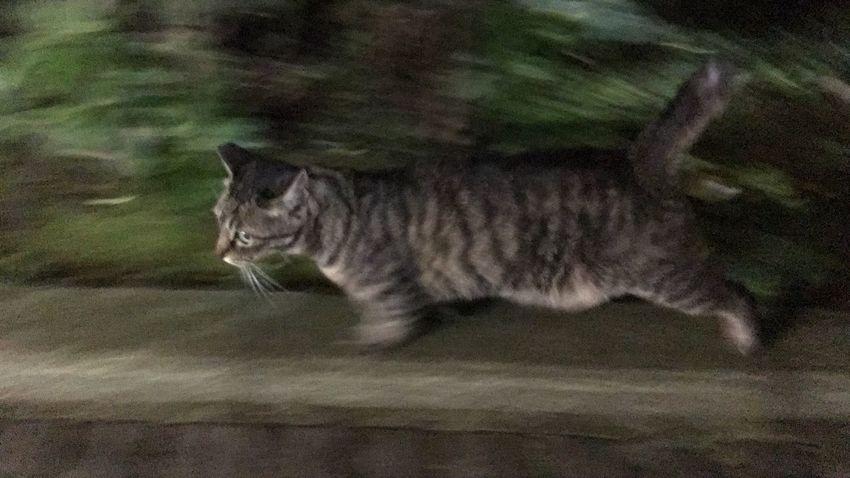 ひさびさ♪ Stray Cat 野良猫 キジトラ 夜ねこ 走り猫