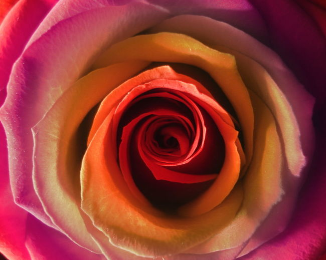 Close-up Colorful Flower Graphic Rosé Rose - Flower
