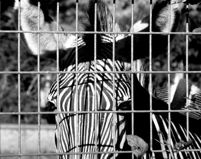 Animals In Captivity Black And White Cage Caged Frankfurt Zoo Frankurt One Animal Shadows & Lights Zebra Zoo