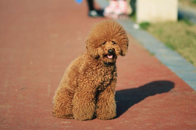 Close-up portrait of poodle