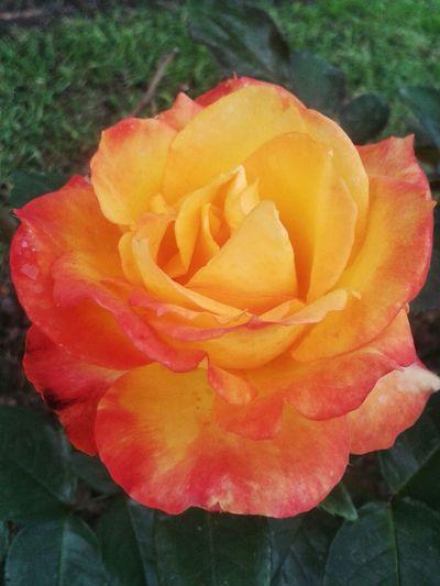 Rosa Mañana EyeEm Nature Lover Hi! Naturaleza Floral Parque  Hoteldelangel Jardin Fotografia