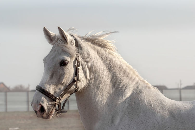 White horse, calm and wise. portrait of a gray gelding in black halter, walking in paddock.