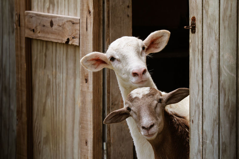 Close-up of goats.