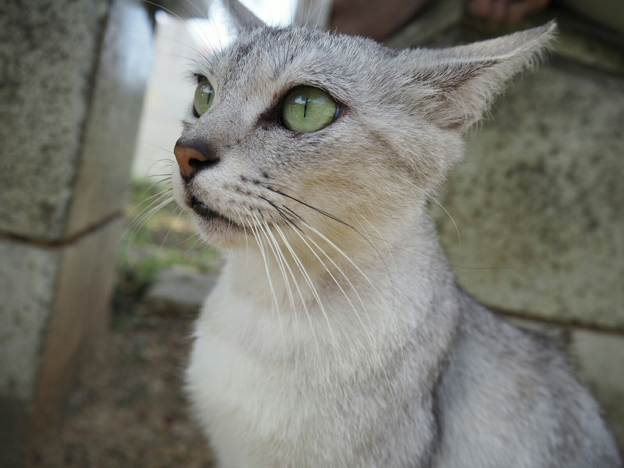 one animal, animal themes, domestic cat, pets, cat, mammal, feline, domestic animals, whisker, close-up, focus on foreground, looking away, portrait, animal head, alertness, animal eye, staring, selective focus, no people