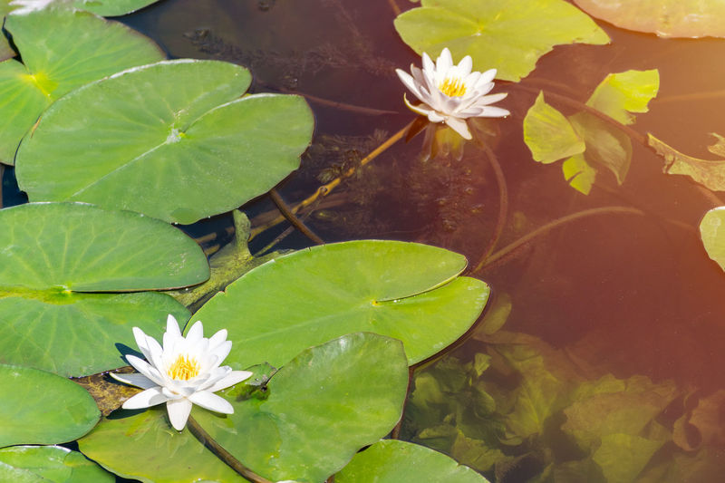 Lily Water