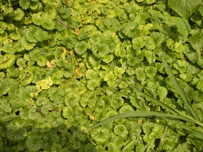 Patterns in Nature Month Of August Nature Photography Patterns In Nature Smithfield, OH Susan A. Case Sabir Unretouched Photography Backgrounds Carpet Of Leaves Close-up Day Freshness Green Color Leaf Nature No People Outdoors Plant Wild Vine Wild Vines