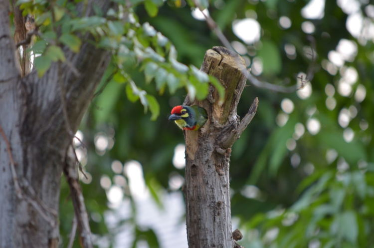 From My Point Of View Megalaimidae Animal Animal Themes Animal Wildlife Animals In The Wild Beauty In Nature Bird Branch Coppersmith Coppersmith Barbet Crimson-breasted Barbet Day Focus On Foreground Green Background Hole In The Tree Nature Nest No People One Animal Outdoor Outdoor Photography Outdoors Perching Tree
