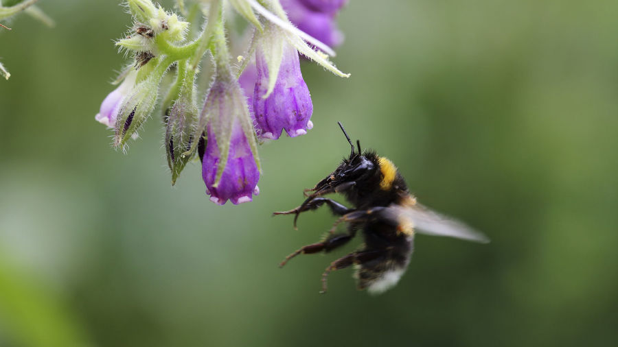 Close-Up Of Bumblebee Flying By Purple Flower Buds