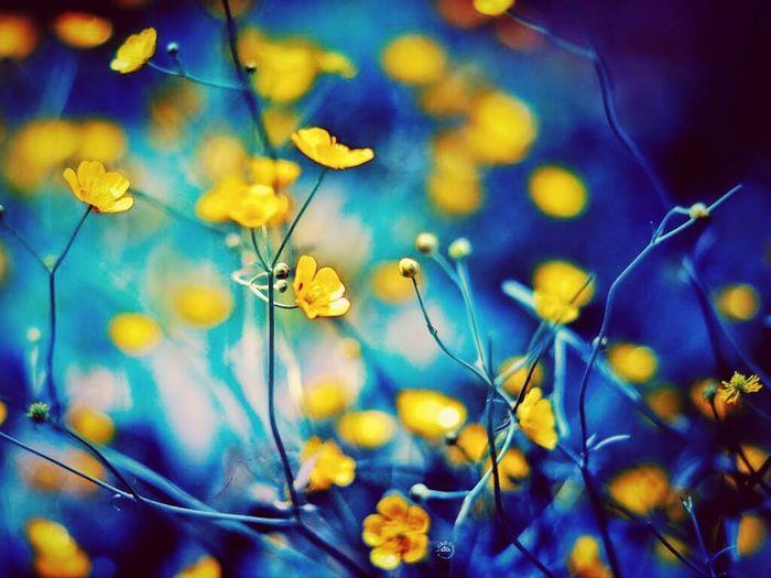 Marii Flowers Blue&yellow