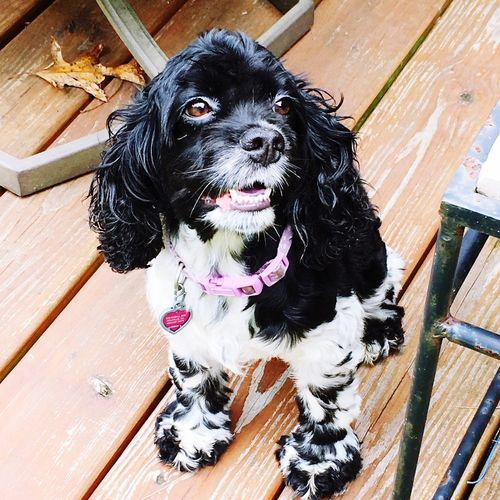 Pets Domestic Animals Dog Animal Themes One Animal Mammal Zoology Looking At Camera Loyalty Pampered Pets Animal Hair Animal No People At Home Cockerspaniel Cockerspanielworld Cockersofinstagram First Eyeem Photo