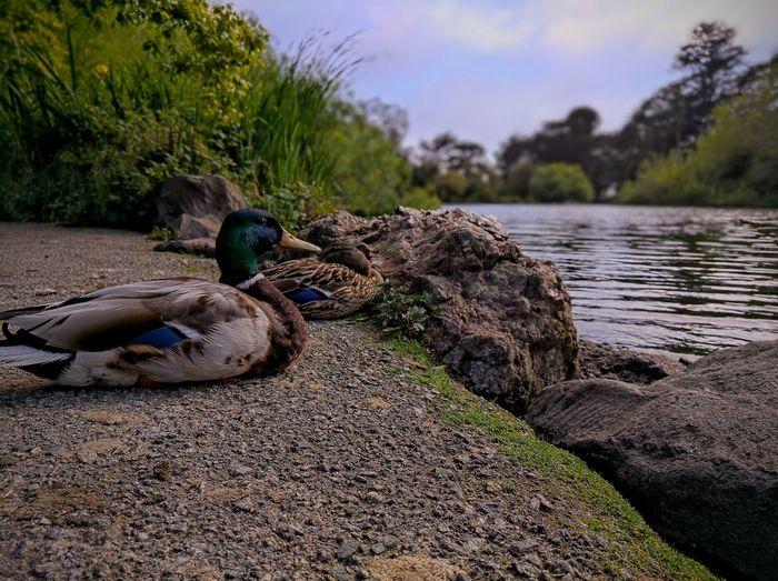 Ducks on rock by lake against sky
