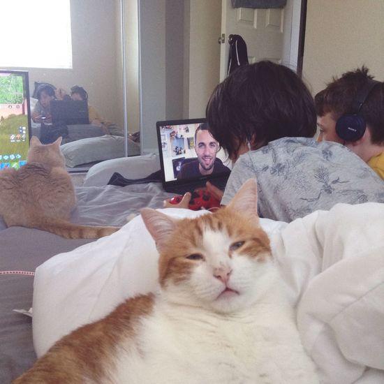 Domestic Domestic Animals Pets Cat Mammal Domestic Cat Feline