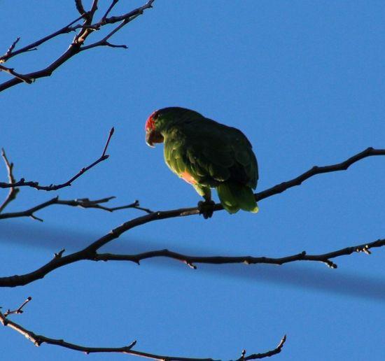 Parrot Invasion