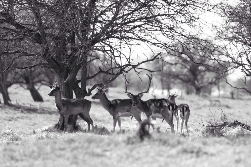 Stag Party Monochrome Blackandwhite Deer Nature Animal Themes Grass Animals In The Wild No People Tree Beauty In Nature Mammal Bare Tree Outdoors Day Antler B&W Magic
