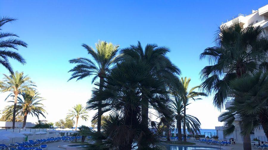 Palm Tree Growth Blue Tropical Tree Mallorca IPhoneography Playa Dorada Hotel Pool Baleares Summer July 2k16
