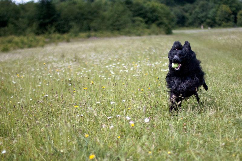Black dog running on field