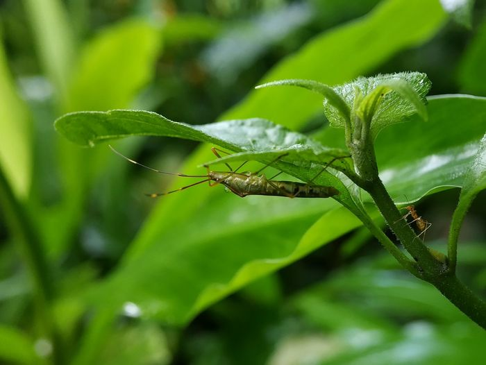 Versus Insect Leaf Close-up Animal Themes Green Color Grasshopper Ant Arthropod Animal Antenna Animal Leg Plant Life Growing
