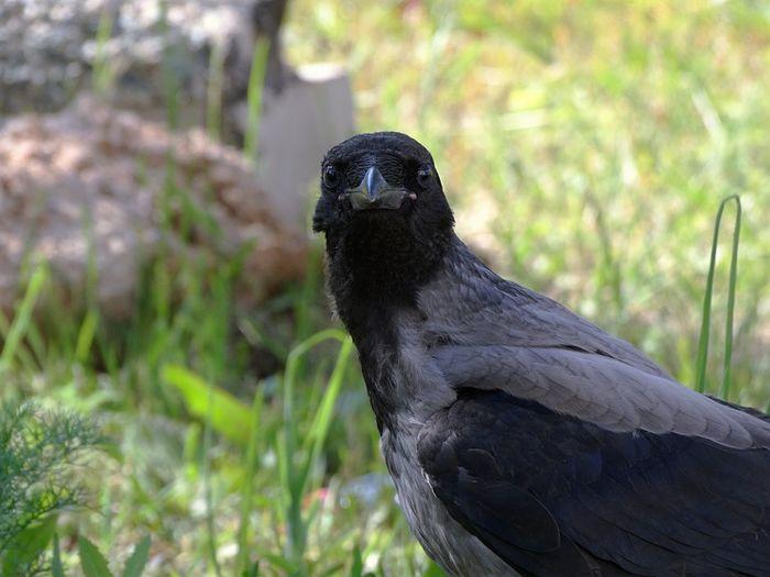 Close-up portrait of crow
