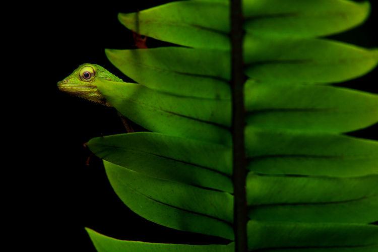 Animal Eye Animal Themes Black Background Close-up Green Color Leaf Nature One Animal