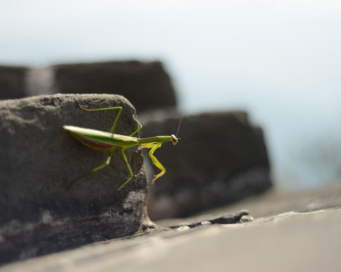 Animal Antenna Animal Themes Animals In The Wild Close-up Crawling Day Focus On Foreground Great Wall Of China Green Color Insect Mantis Nature No People One Animal Praying Mantis Selective Focus Spiked Wildlife