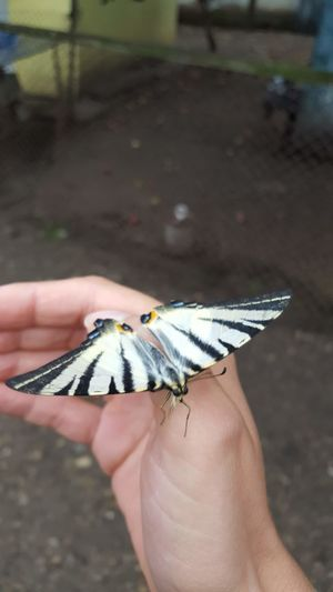 friend Human Hand Perching Butterfly - Insect Insect Holding Close-up Moth Animal Markings Butterfly Personal Perspective Animal Antenna Animal Wing Antenna Pollination