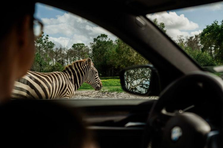 View of zebra seen through car windshield