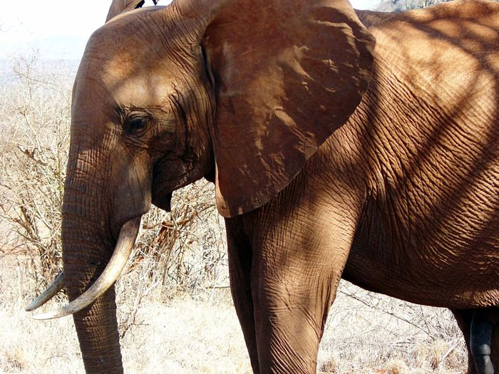Elephant at Tsavo East, Kenya 🇰🇪 Tsavo East Kenya EyeEm Selects Animals In The Wild Animal Wildlife Elephant Mammal Animal Body Part Safari Animals Animal Themes One Animal Nature African Elephant No People Day Outdoors Animal Trunk