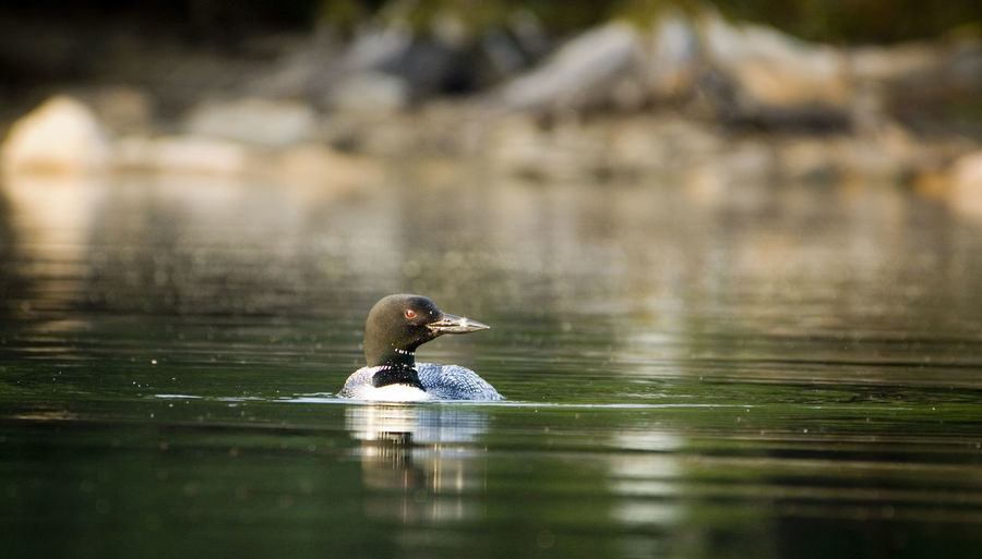 Close-up of common loon swimming in lake