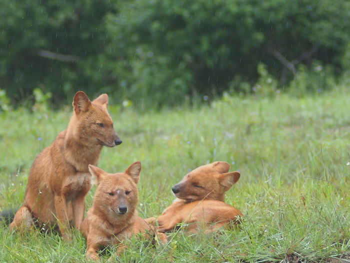 Dholes Resting On Grass In Rain
