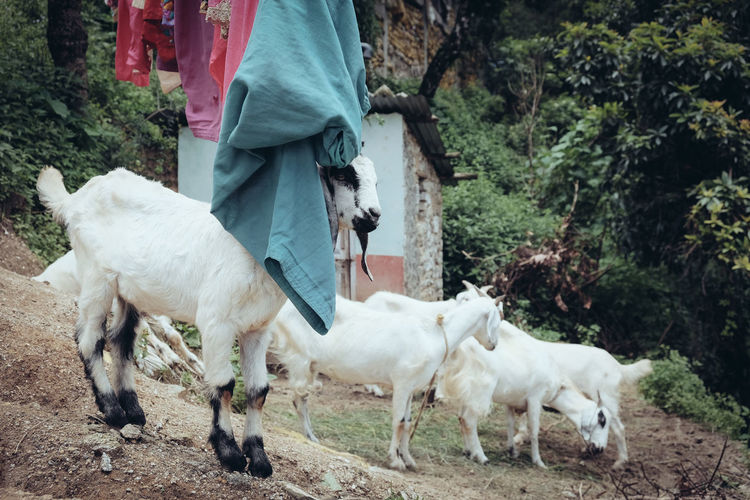 Goats on field by laundry hanging against trees