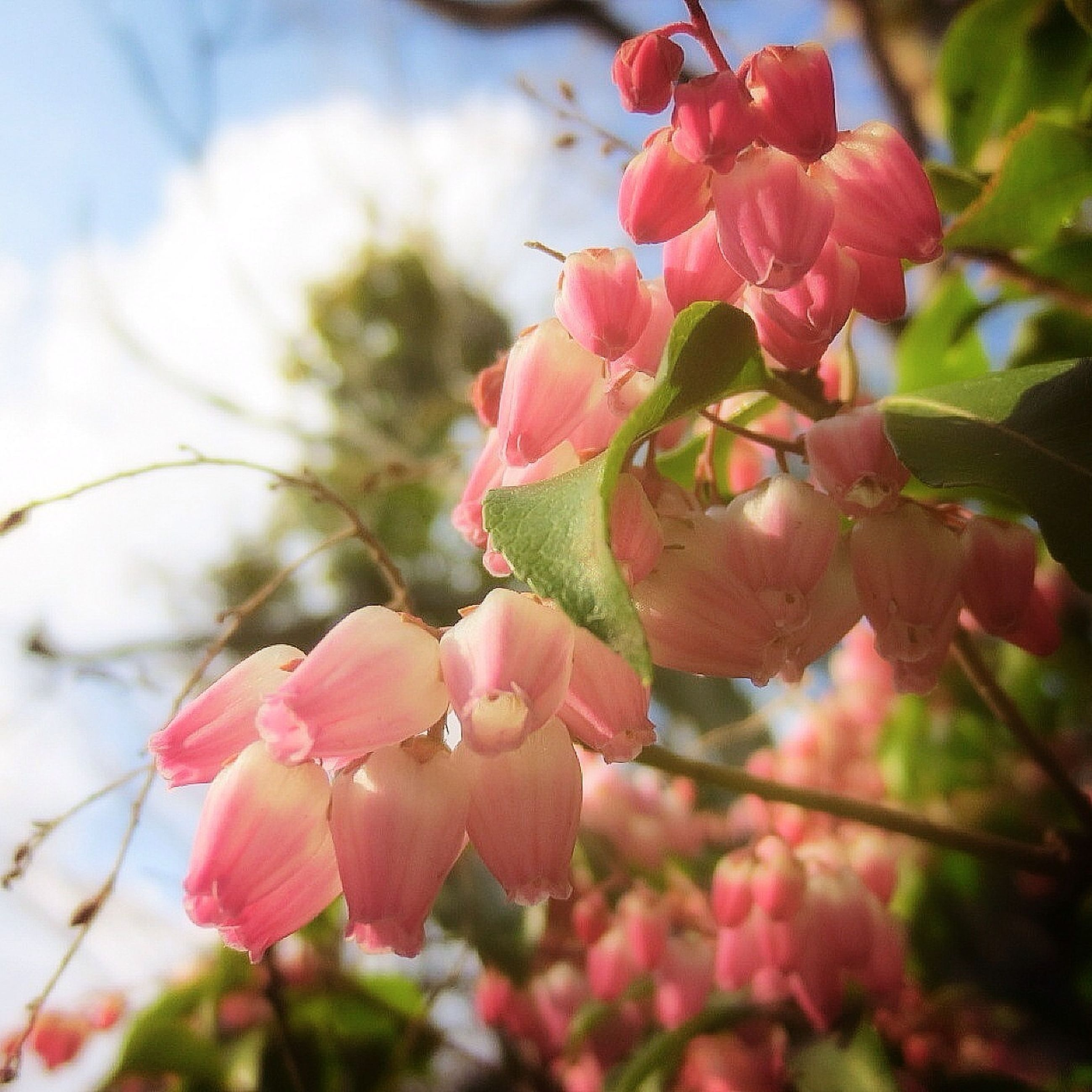 flower, freshness, branch, growth, tree, fragility, pink color, focus on foreground, beauty in nature, nature, close-up, cherry tree, twig, cherry blossom, blossom, fruit tree, petal, springtime, orchard, in bloom