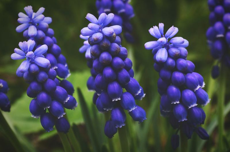 Close-up of hyacinths growing outdoors