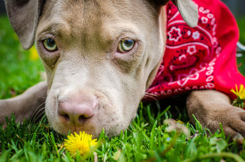 Pitbull puppy eating a flower Close-up Dog Domestic Animals Eating Flower Flower Looking At Camera Pets Pitbull First Eyeem Photo