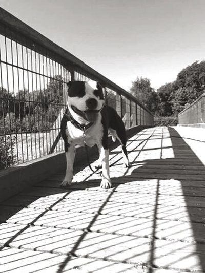 Bridge of Dogs...
