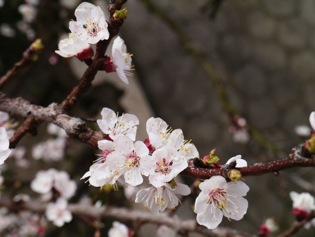 Apricot Tree Branch Apricot Tree Flower Fragility Cherry Blossom Blossom Freshness Springtime Apple Blossom White Color Beauty In Nature Tree Growth Branch Petal Botany