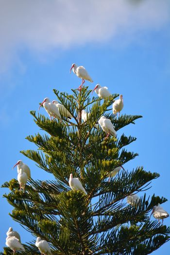 Ibises In A Pine Tree From Our Backyard this tree is a frequent resting place for our birds Animals In The Wild Low Angle View Perching Nature