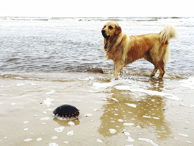 Turtle 🐢 Animal Themes Domestic Animals Dog Water Beach Sea Shore Sand Nature Animal Coastline Beauty In Nature Sand & Sea Uruguay Sea And Sky Nature Photography Dogs Dogslife Goldenretriever Animal Behavior Ocean Home Is Where The Art Is Non-urban Scene